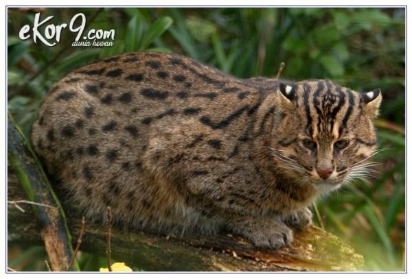 Kwikku, Fishing Cat