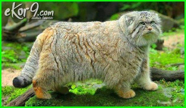 Kwikku, Pallas Cat