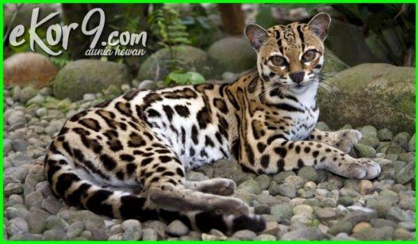 Kwikku, Margay Cat