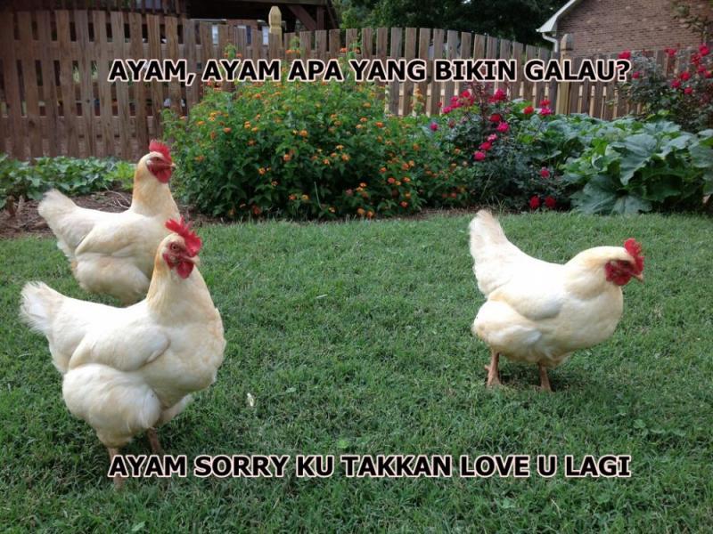 Kwikku, Kalian bisa jawab gak Ayam apa yang bisa bikin galau