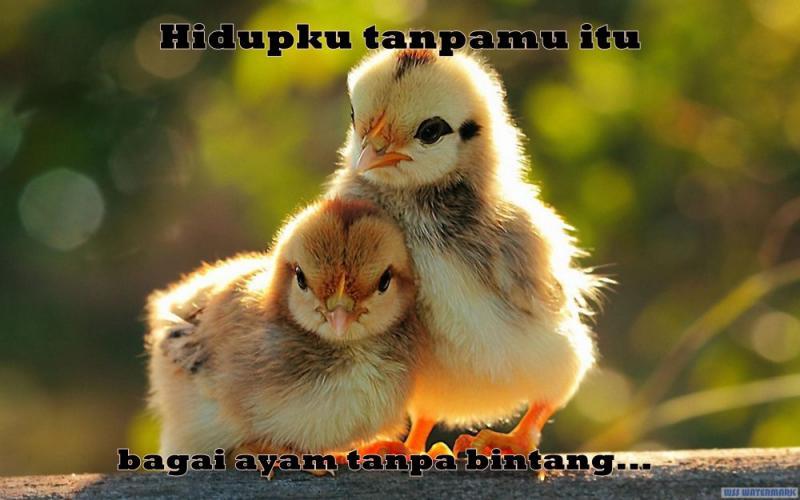 Kwikku, Ciecie ternyata ayam juga bisa so sweet guys Menurutmu hidupku tanpamu itu seperti apa sih