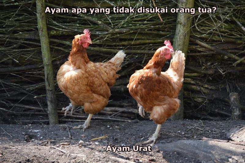 Kwikku, Ayam memang terkenal Menurut kalian ayam apa yang tidak di sukai sama para orang tua