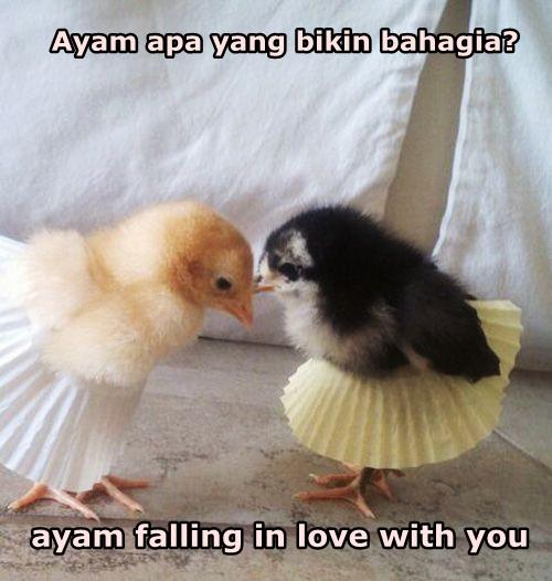 Kwikku, Ternyata ayam juga bisa bahagia Menurut kalian ayam apa yang bikin bahagia