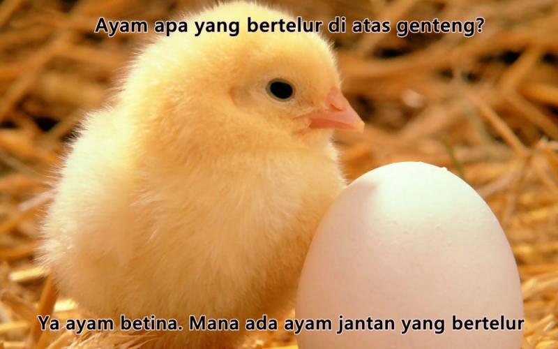 Kwikku, Kalian para pecinta ayam pasti tau jawabannya Ayam apa yang hobinya bertelur di atas genteng