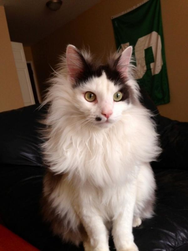 Kwikku, Kucing dengan bulu gembul ini seolaholah punya tompel di atas mulutnya hihi lucu