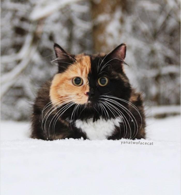 Kwikku, Ternyata quotbermuka duaquot bukan hanya sebatas pepatah guys Lihat deh wajah kucing ini