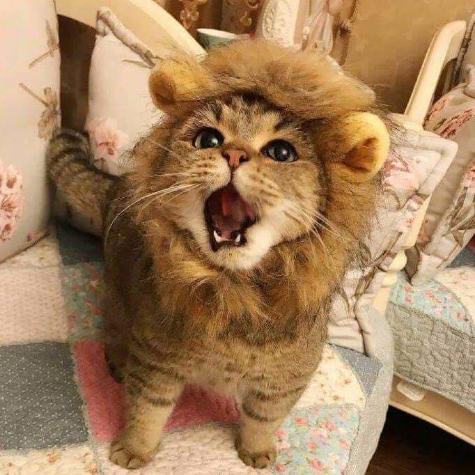 Kwikku, Singa atau kucing