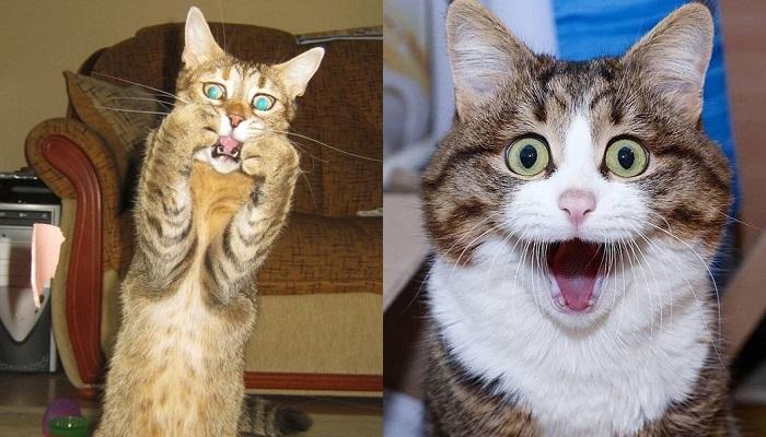Kwikku, Kucing