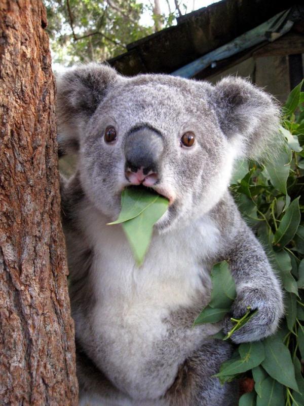Kwikku, Koala
