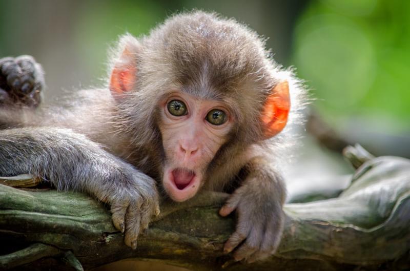 Kwikku, Monyet
