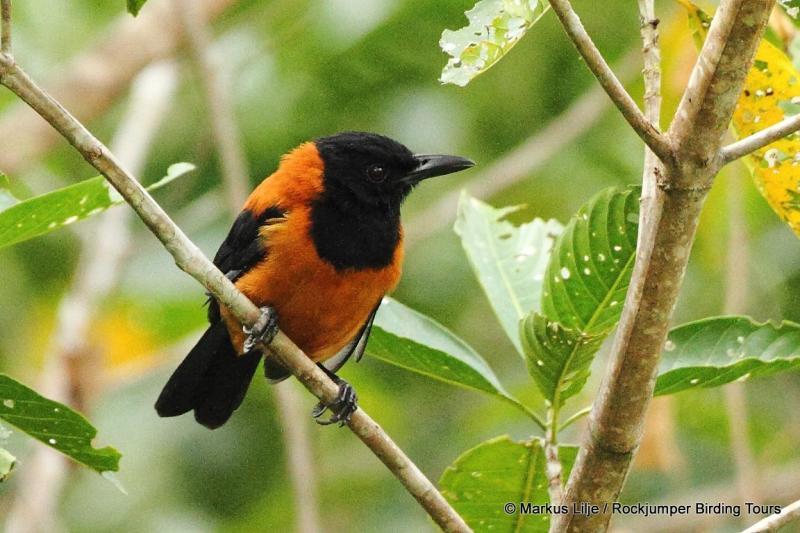 Indah tetapi Beracun Inilah Pitohui Burung Asal Papua yang Eksotik