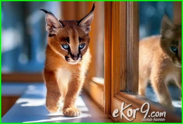 Inilah 7 Kucing Terlangka di Dunia Sangat Menakjubkan Bikin Semua Orang Gemes